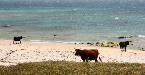 Vacas en la playa de Bolonia